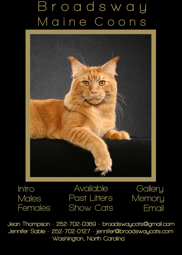 Broadsway Maine Coon Cats - A registered cattery  Breeder